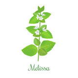 fresh melissa plant. Also Lemon balm or balm mint - 133508397