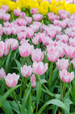 beautiful colorful tulips flower field in garden