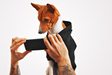 Serious brown and white basenji dog in black sweatshirt watches a movie on a smartphone held by mans hands on white background