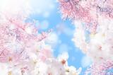 桜 ほわ 三 - 133525381