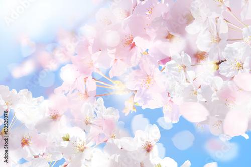 桜 ほわ 四
