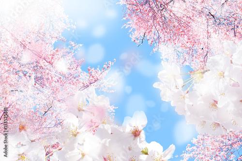 桜 ほわ 三 Poster