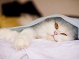 Persian cat under a blanket