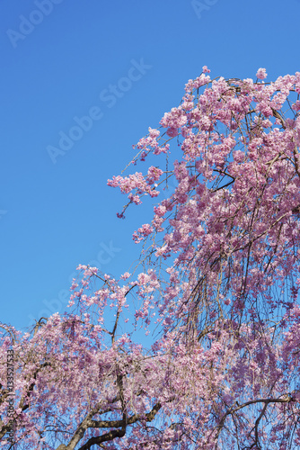 Poster Beautiful cherry blossom sakura with blue sky background