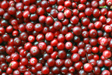 texture of natural ripe red cranberries collected in the swamp c