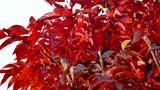 Scarlet Fall Foliage