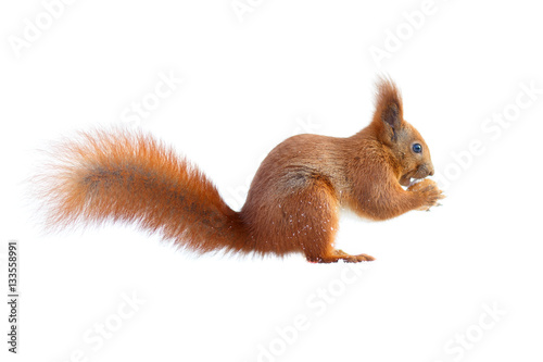 Tuinposter Eekhoorn Red squirrel with furry tail holding a nut isolated on white background