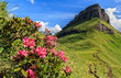 Quadro rhododendron flowers in Dolomites - Val di Fassa, Italy