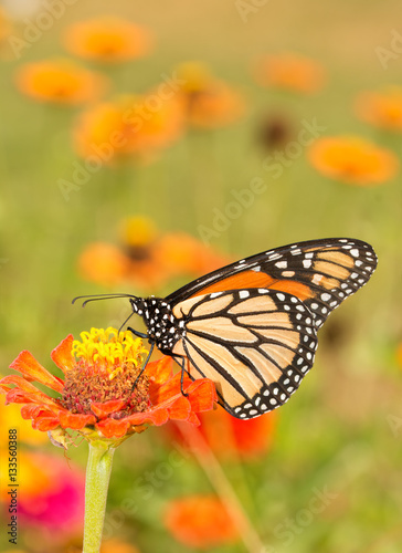 Beautiful Monarch butterfly getting nectar from an orange Zinnia flower in summe Poster