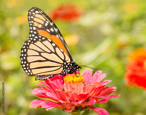 Poster Closeup of a Monarch butterfly on a pink flower