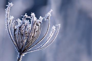 Gefrorene Blume im frostigen Winter