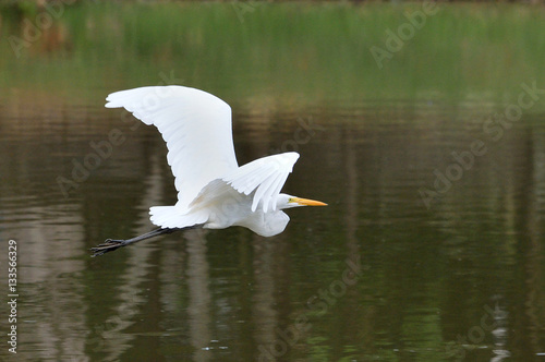 Poster Big white Egret flying over a lake