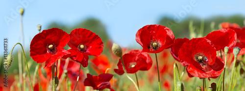 poppy flowers in a field - 133611733