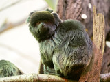 Callimico goeldii, Goeldis marmoset, inhabits South American rainforests
