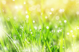 Green grass in drops of dew in the sunlight