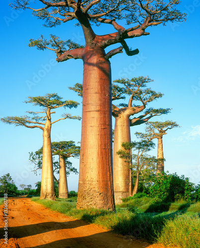 Poster Baobab Baobab avenue - Morondava - Madagascar