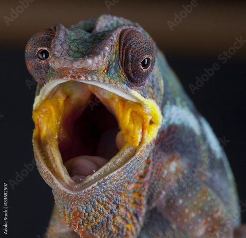 Panther Chameleon with open mouth