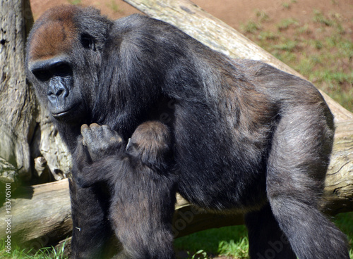 Fotobehang Bamboe Gorillas are the largest extant species of primates. They are ground-dwelling, predominantly herbivorous apes that inhabit the forests of central Africa.