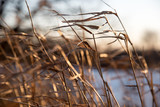 Close up of golden prairie grass blowing in the wind - 133740341