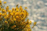 Ginestra di Spagna (Spartium junceum) - fioritura