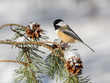 Black-Capped Chickadee on a Pine Branch with Cones in Winter