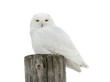 Male Snowy Owl Perched on Post on White Background, Isolated