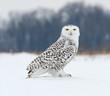 Snowy Owl Perched on Snow Field, Portrait