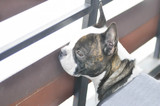 absent minded French bulldog , French bulldog near the fence