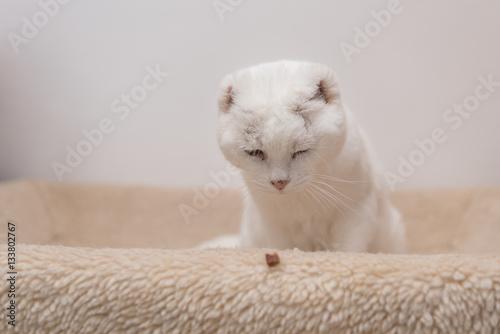 Poster niedliche weiße invalide Katze sitzt im Körbchen und fixiert Futter