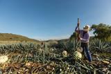 Campesino cortando agave con un hacha  - 133823117