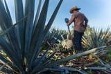 Contrapicada de campesino cortando agave - 133823120