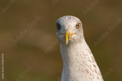 Poster Portrait of a seagull with yellow peak