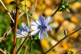 Blue meadow flower in Spring