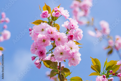 Poster Pink blossoming flowers