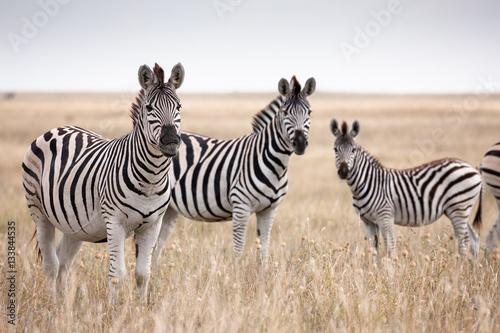 Fototapeta Zebras migration in Makgadikgadi Pans National Park - Botswana