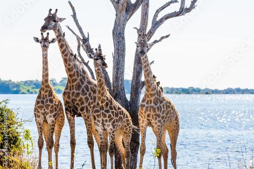 Poster Giraffe family - Chobe NP - Botswana