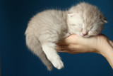 The small gray kitten sleeps in female hands on a blue background.