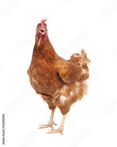 Staande foto Kip close up full body brown feather chicken standing isolated white