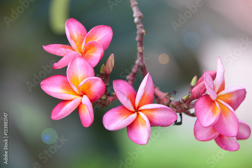 Aluminium Plumeria Pink plumeria on the plumeria tree, frangipani tropical flowers