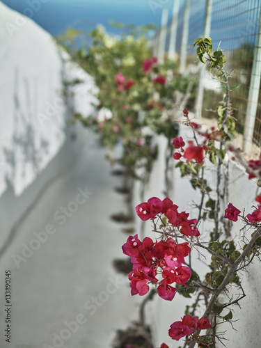 Pink flowers on a brick fence at the street full of sunlight