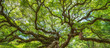 Panorama of branches from the Angel Oak Tree
