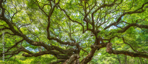 Poster Panorama of branches from the Angel Oak Tree