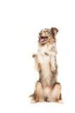 Funny begging australian shepherd dog on a white background - 133905109