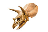Dinosaur skeleton. Triceratops Fossil skull over white isolated