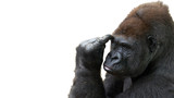 Isolated gorilla thinking with room for text - 133925110