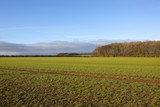 wheat field and woodland