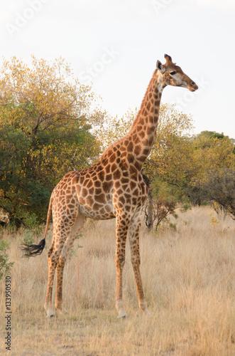 Giraffe in the bushveld of South Africa Poster