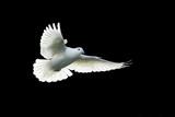beyaz güvercin - 133959722