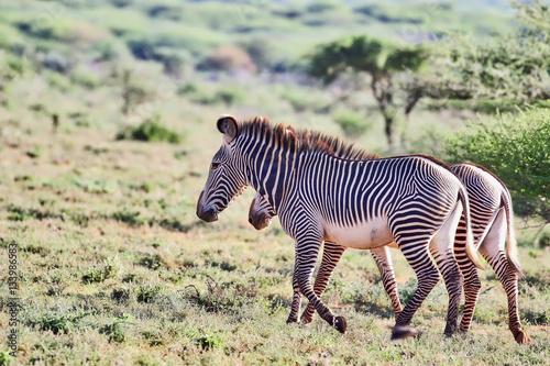Poster Zebras 2