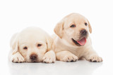 Labrador puppies, on a gray background